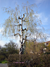 Photo: Happy Birthday +anna lourenço=))  An old birch tree, often cut shorter, but still growing stronger every year.  This photo was taken in early Spring, on one of the few early warm and sunny days.  Hope you had a great day. And everyone else too . =))  #treetuesday +Tree Tuesday #tree