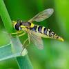 Long Hoverfly; Mosca de las Flores Esbelta