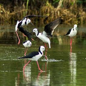 Fight by Rusman Budi Prasetyo - Animals Birds ( bird, nature, wildlife,  )