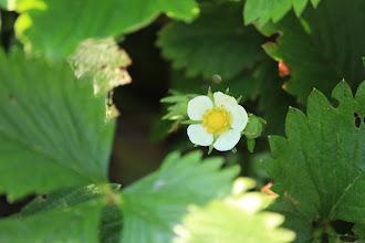 Photo: Yellow Wonder Strawberry bloom