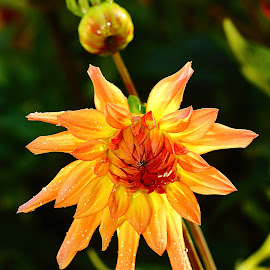 Dalhia n000231 by Gérard CHATENET - Flowers Single Flower