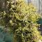 Tree ruffle liverwort