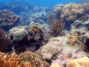 Photo: Chaetodon octofasciatus (Eight-banded Butterflyfish, Lusong Island, Coral Garden Reef, Palawan, Philippines.