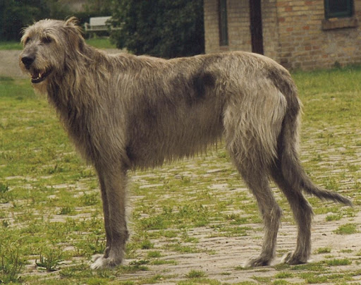 Irish Wolfhound Live Wallpaper
