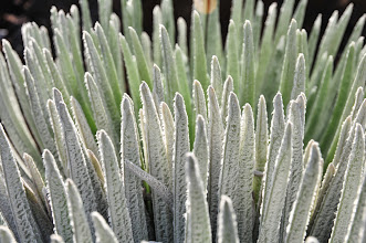 Photo: Silversword, close-up.