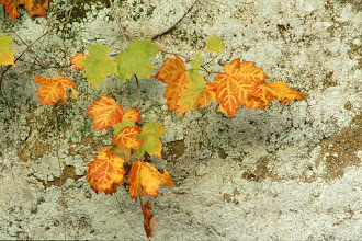 Photo: 41 Fall leaves on lichen-covered bluff