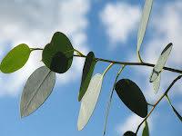 Eukalyptus  80:-