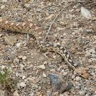 Great Basin Gopher Snake