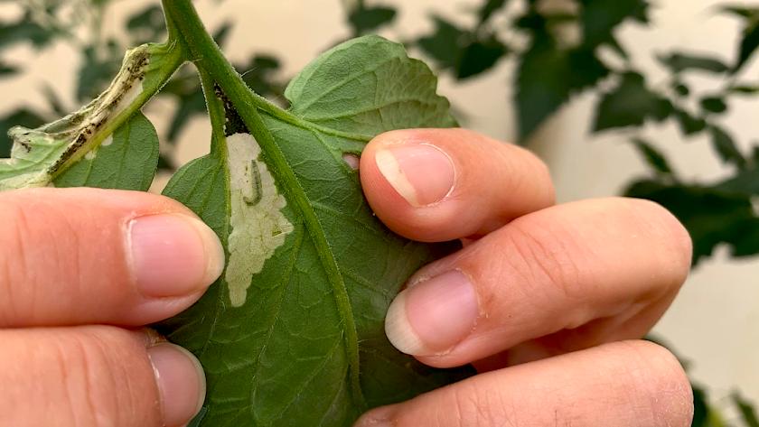 Larva de Tuta absoluta en el interior de una hoja de tomate.