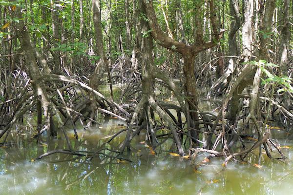 See mangrove roots deep in the wetlands of Krabi