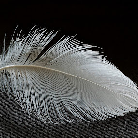 An Albatros Feather by Martha van der Westhuizen - Artistic Objects Other Objects ( black background, black/white, macro, feather )
