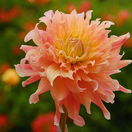 Salmon Dahlia by Jim Downey - Flowers Single Flower ( orange, red, green, dahlia, yellow )