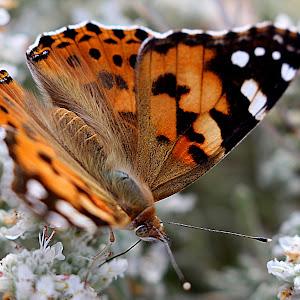 Leptir smedji.jpg