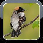Bobolink Bird Sounds HQ Icon