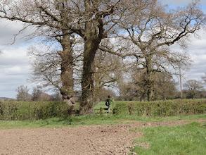 Photo: Heloise climbs a stile near huge oak trees