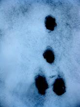 Photo: trace bizarre ! un dahu ?
