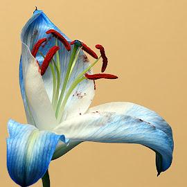 Hello World! by Chrissie Barrow - Flowers Single Flower ( stigma, red, single, stamens, lily, blue, petals, white, flower )
