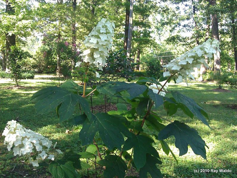 Photo: Oak Leaf Hydrangea