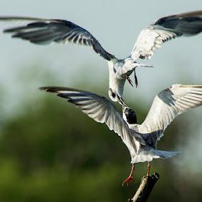 Kiss Me by Rusman Budi Prasetyo - Animals Birds (  )