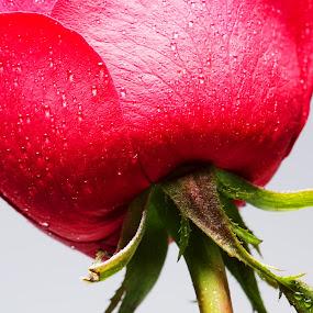 by Tigor Lubis - Flowers Single Flower