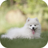 American Eskimo Wallpapers HD