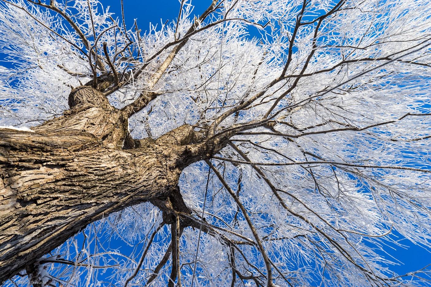 樹氷を纒う碧水神社の柳