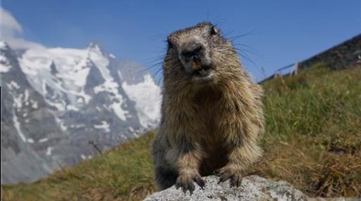 Marmotte en autriche