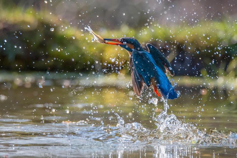 Martin pescatore in azione di Peter_Sossi