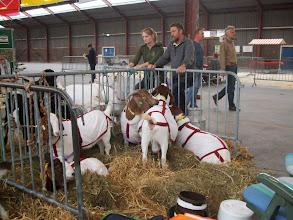 Photo: Nationale geitenkeuring 21 september 2013. Kleindierenmarkthal te Barneveld.