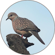 Spotted turtle dove Sounds