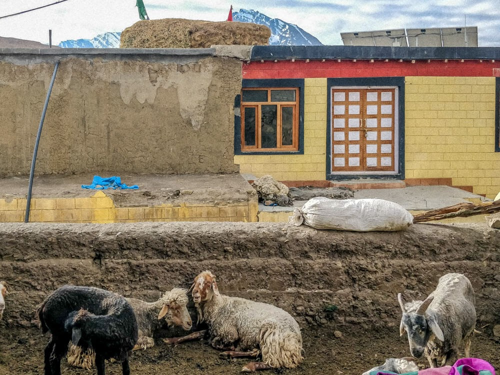sheep+demul+village+pics+of+spiti+valley+himachal+india.jpg