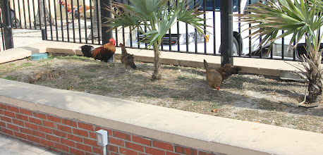 Photo: The chickens run everywhere on Key West
