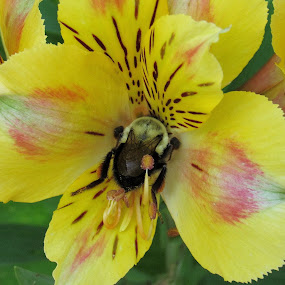 Bee In a Alstroemeria Flower by Lynne Miller - Nature Up Close Gardens & Produce ( lynne miller, maine, bee, yellow, alstroemeria flower,  )