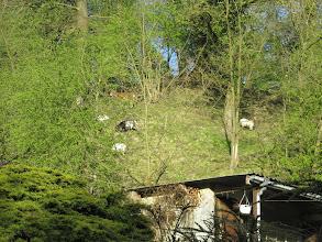 Photo: zeven geitjes zonder wolf