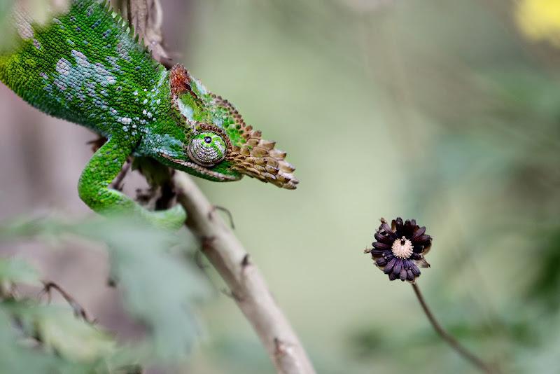 Il camaleonte di David Marrone
