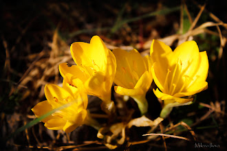 Photo: ...yellow quartet...  Happy Tuesday, Everyone! Some yellow beauties photographed in late September...I'm guessing one confused crocus :)  #canonusers   #canon #canonphotographers   #canonphotography , +Canon Users ;#promotephotography +Promote Photography; #photography #PlusPhotoExtract  #flowers     #floral  #hqspflowers +HQSP Flowers, +Werner Polwein, +Larry Henley  and +Nicole Best;    New addition to the Floral Collection: http://milena-ilieva.artistwebsites.com/featured/yellow-quartet-milena-ilieva.html