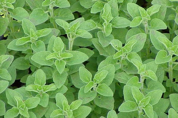 OreganoThis herb, sometimes called wild marjoram, belongs to the mint family and is related...