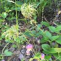 Leatherflower