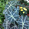 Kris plant