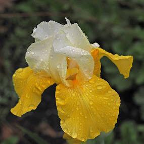 In The Rain by Howard Mattix - Flowers Single Flower ( macro, nature, single flower, irises, flowers, spring,  )
