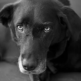 Sadie by Christian Wicklein - Animals - Dogs Portraits ( black and white, sad, 105mm, lounge, lazy, dog, bokeh, portrait, eyes )