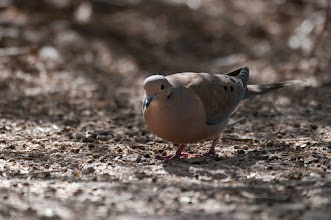 Photo: Mourning dove, found near the Visitors' Center.