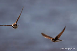 Photo: Sand Martins in flight 3