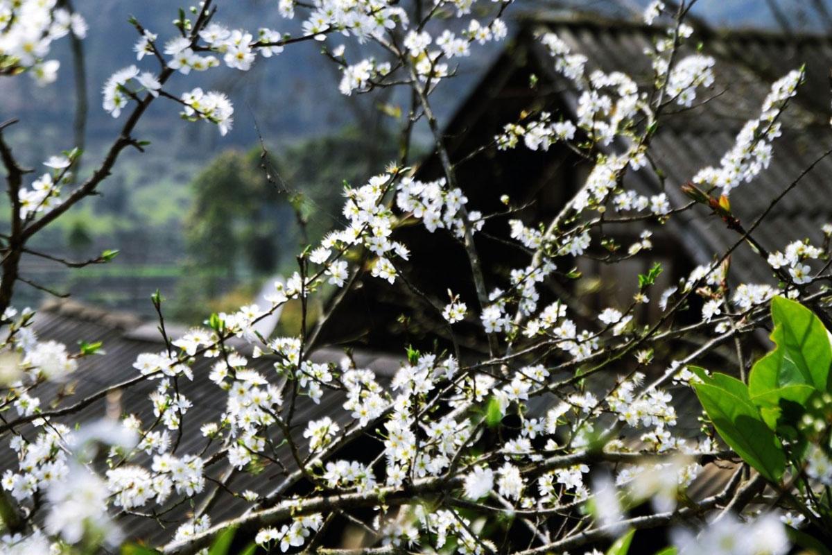 Mùa hoa ban Tây Bắc nở là vào tháng 2 - 3