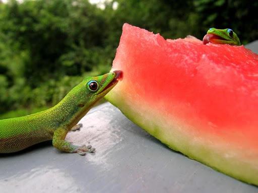 Gecko Wallpapers HD FREE