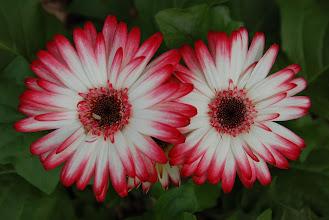 Photo: 16 ... Mrs. Robinson's flowers ... Her frontyard