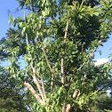 Dayang tree