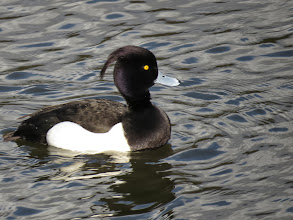 Photo: Priorslee Flash Whereas the drake Tufted Duck, now in full breeding splendour just looks surprised – so would I if I had a hair-cut like that. (Ed Wilson)