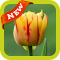 Tulip2 Wallpaper APK
