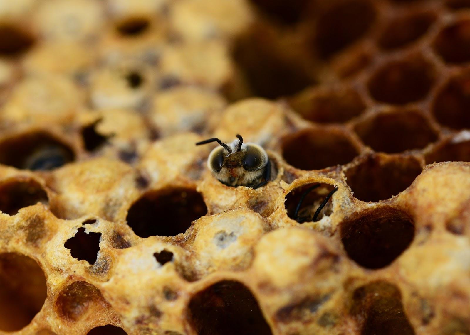 Honeybee drone in hive